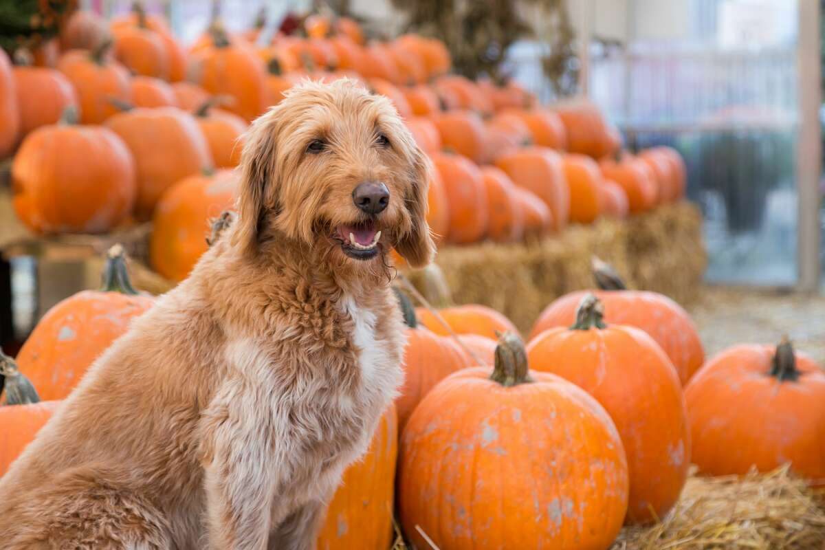 Goodnews Pumpkin Patch 11020 Old Corpus Christi Highway Available until Oct. 31
