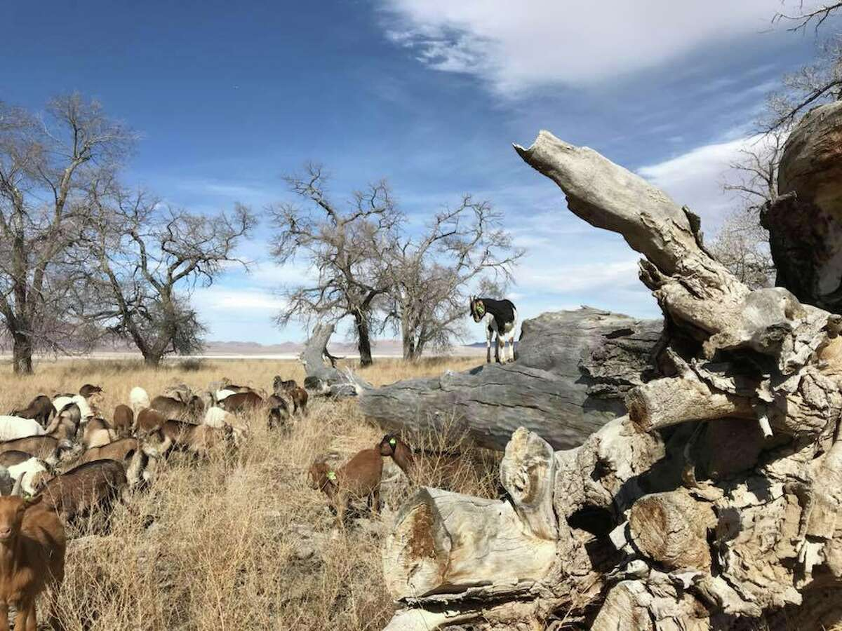 Goats from High Desert Graziers out in the field in Nevada.