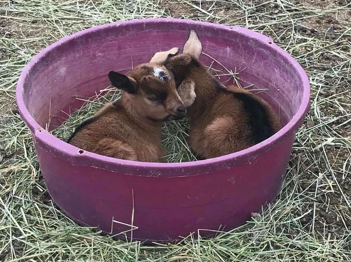 A pair of baby Kensing Spanish goats from High Desert Graziers.