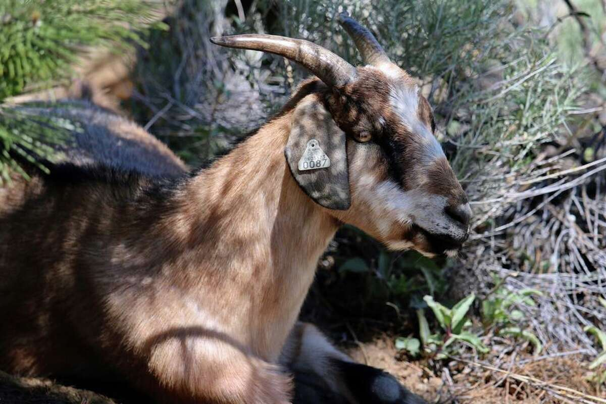 A profile photo of a goat from High Desert Graziers at Sierra Canyon at Somersett Village, Reno, Nevada.