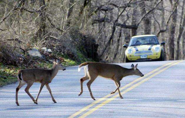 """Deer scamper across a Stamford street in front of traffic.  Deer collisions are very common in the state and drivers can take some actions to avoid them. Since deer are most active between dawn and dusk, drivers must keep their lights on, according to Wildlife Help.  """"They're pretty quick to run away when they hear or see us,"""" said Dickinson. Additionally, if you see a deer, you should """"apply [your] brakes gently and maintain your course,"""" blast your horn and watch out for more deer since they tend to travel in groups, according to Wildlife Help. Photo: File Photo / Connecticut Post File Photo"""