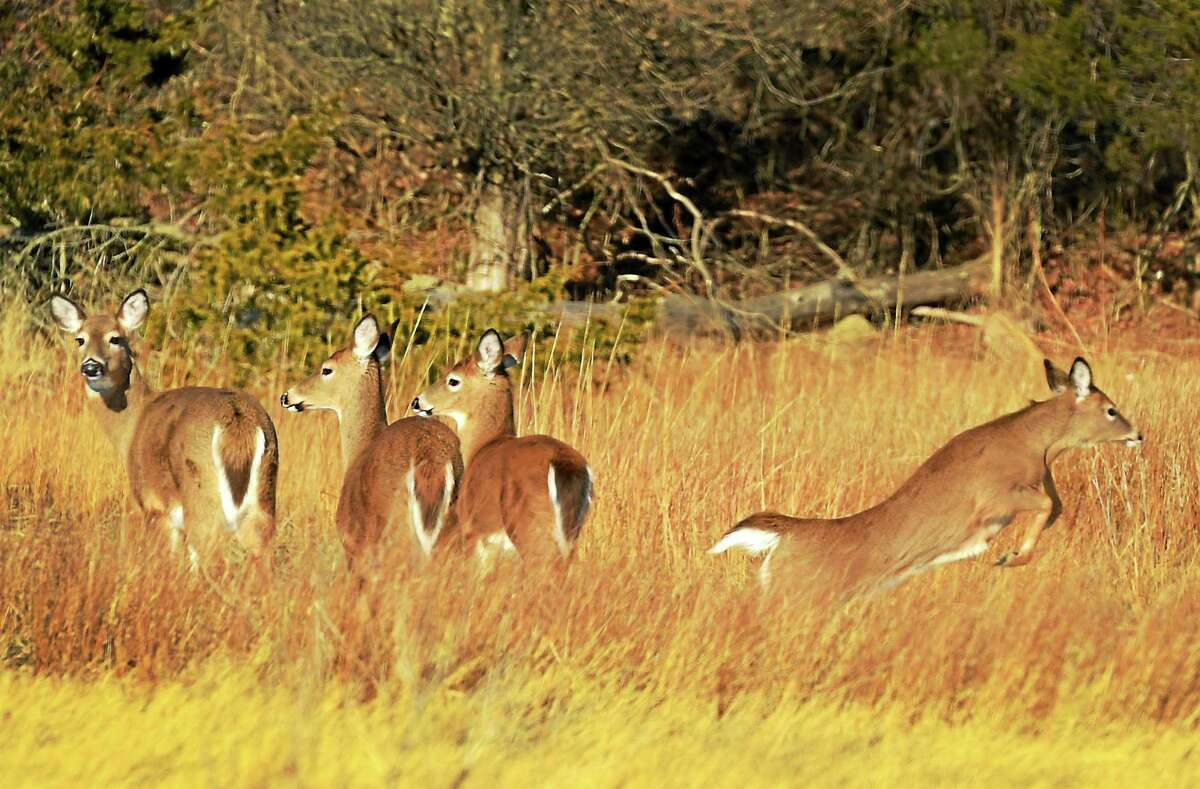 Whitetail Deer walk across a marsh near the shoreline by Vineyard Avenue in Guilford Saturday, January 16, 2015. DEEP's figures of deer road kills in all of 2019 included 22 in Lebanon, 18 in Newington, 17 in Woodbridge, 16 in Southbury, 14 in Manchester and Portland, 10 in Newtown and Enfield and eight in Darien, New Fairfield, Kent and New Britain. Because Eastern Standard Time begins Nov. 1 and gives motorists less daylight driving time, drivers need to be especially vigilant, Mayko said. Most deer-related crashes occur because drivers simply don't see deer crossing roadways in low-light conditions; sometimes, however, drivers are inattentive or speeding. Avoiding a deer crash may be very difficult; however, to minimize your risk on the road, AAA Northeast offers these suggestions: While driving, scan the road ahead of you, including the road shoulder, since deer tend to dash from wooded areas into roads, AAA says.