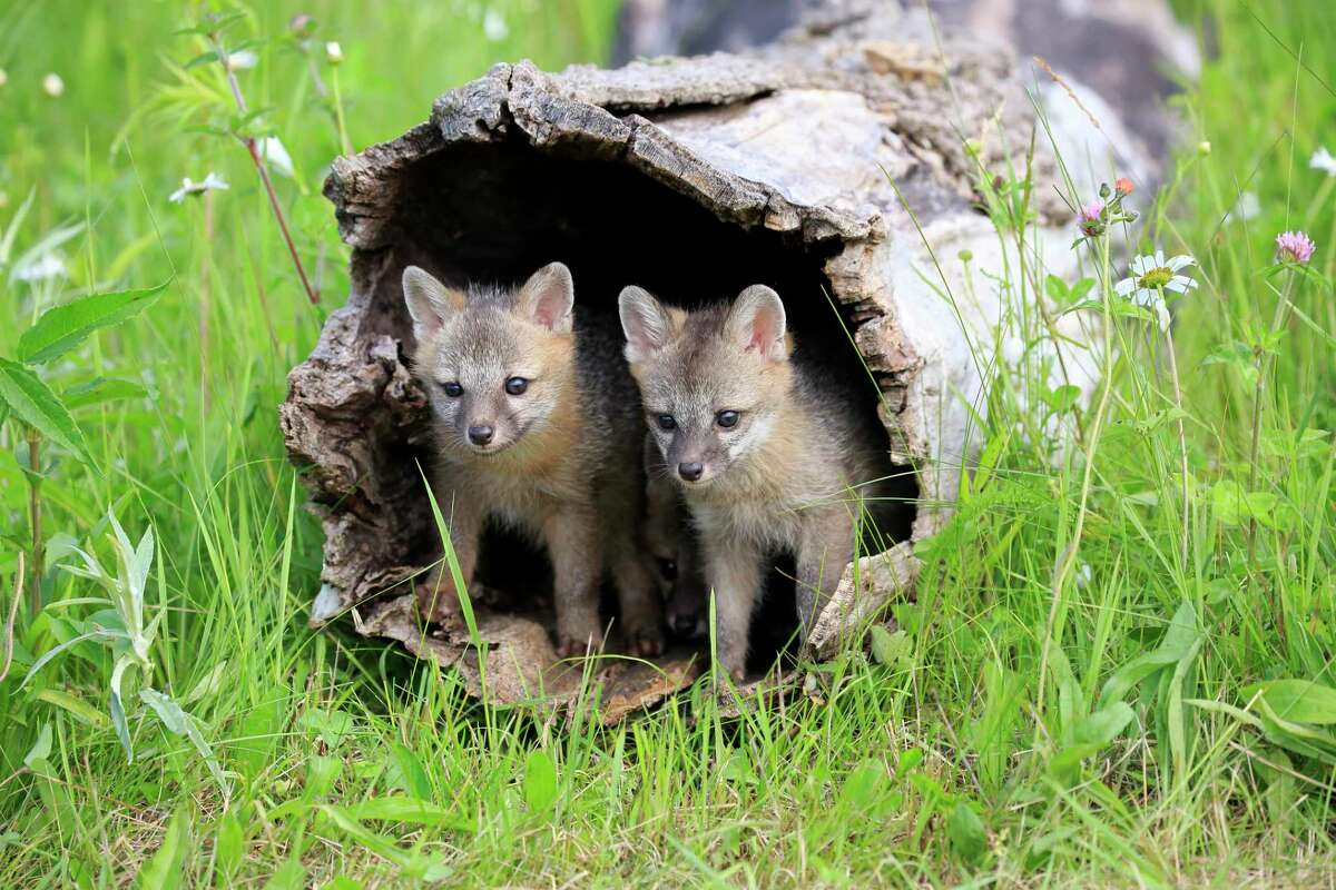 Baby gray foxes called kits are as precocious as they are adorable.