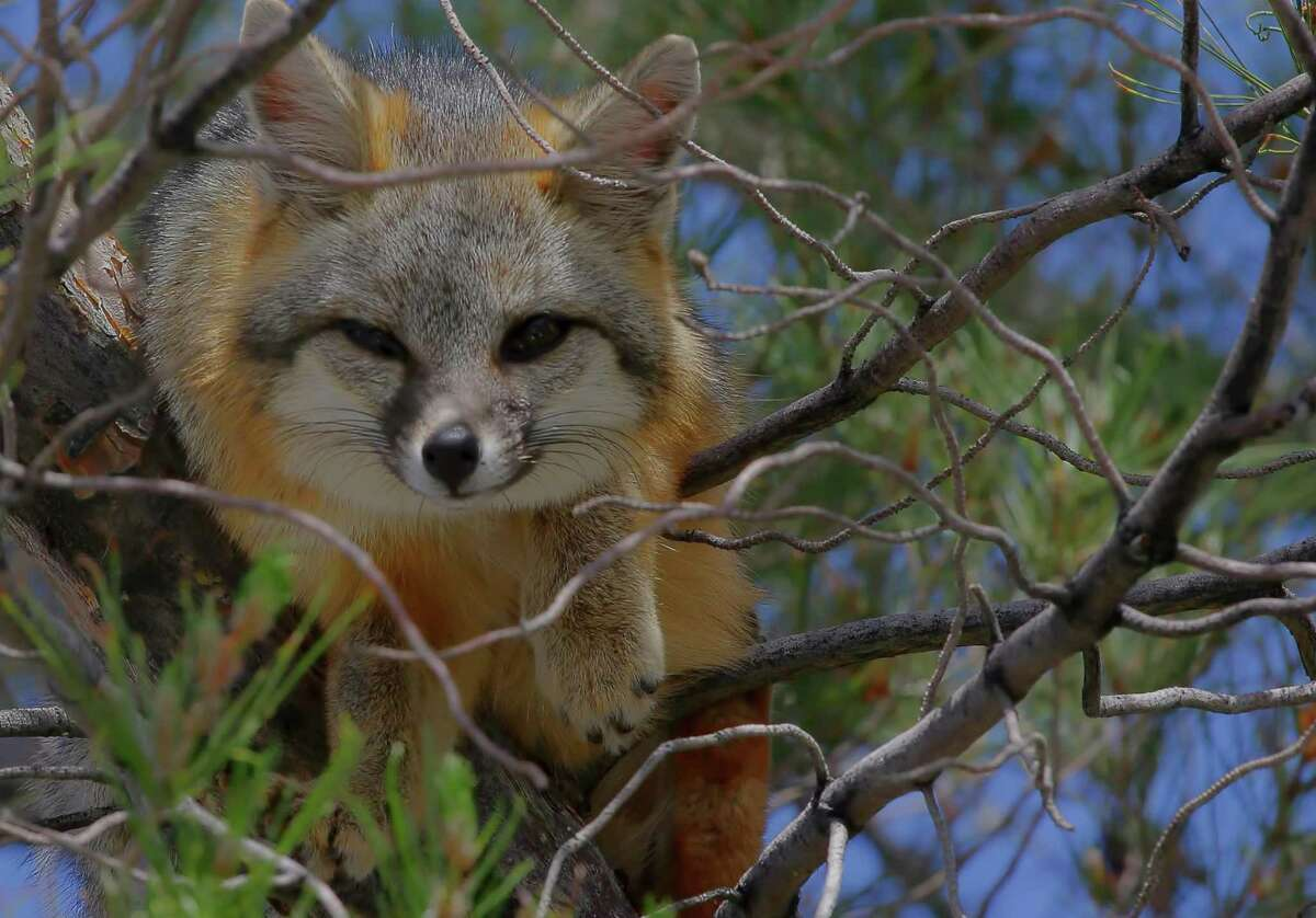 The gray fox is one of the few foxes that climbs trees.