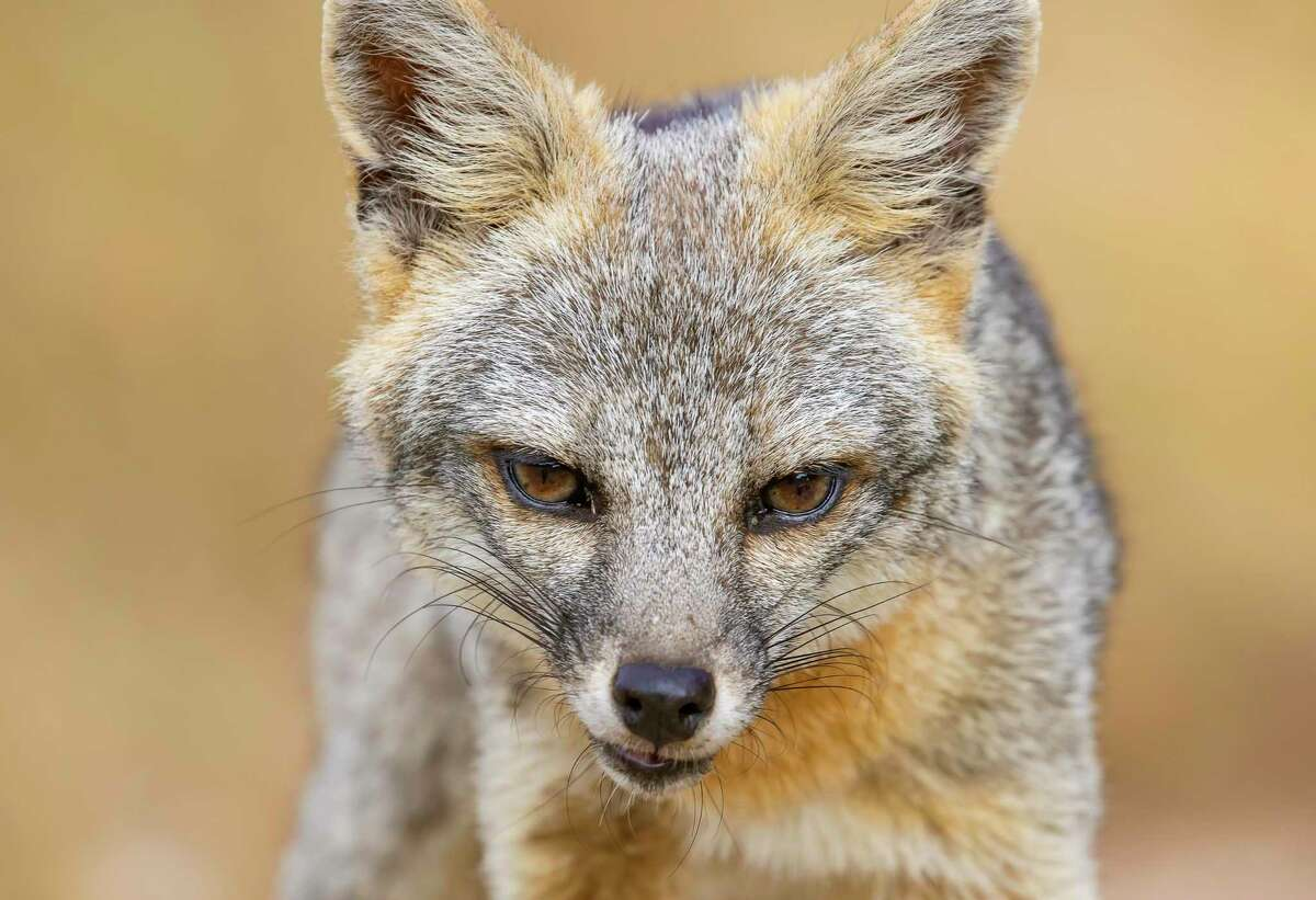 Roger Gray often takes wildlife photos at his ranch in Vanderpool. Those pics include shots of the gray fox, the most common fox in Texas.