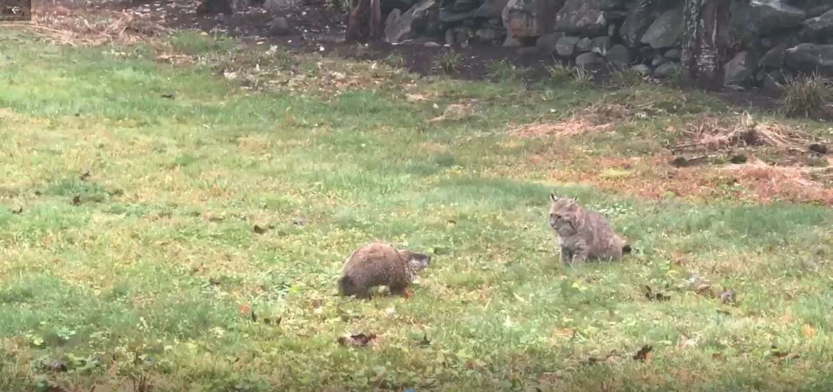 A groundhog faces off against a bobcat in Wilton, Conn. Tuesday, Oct. 13, 2020.