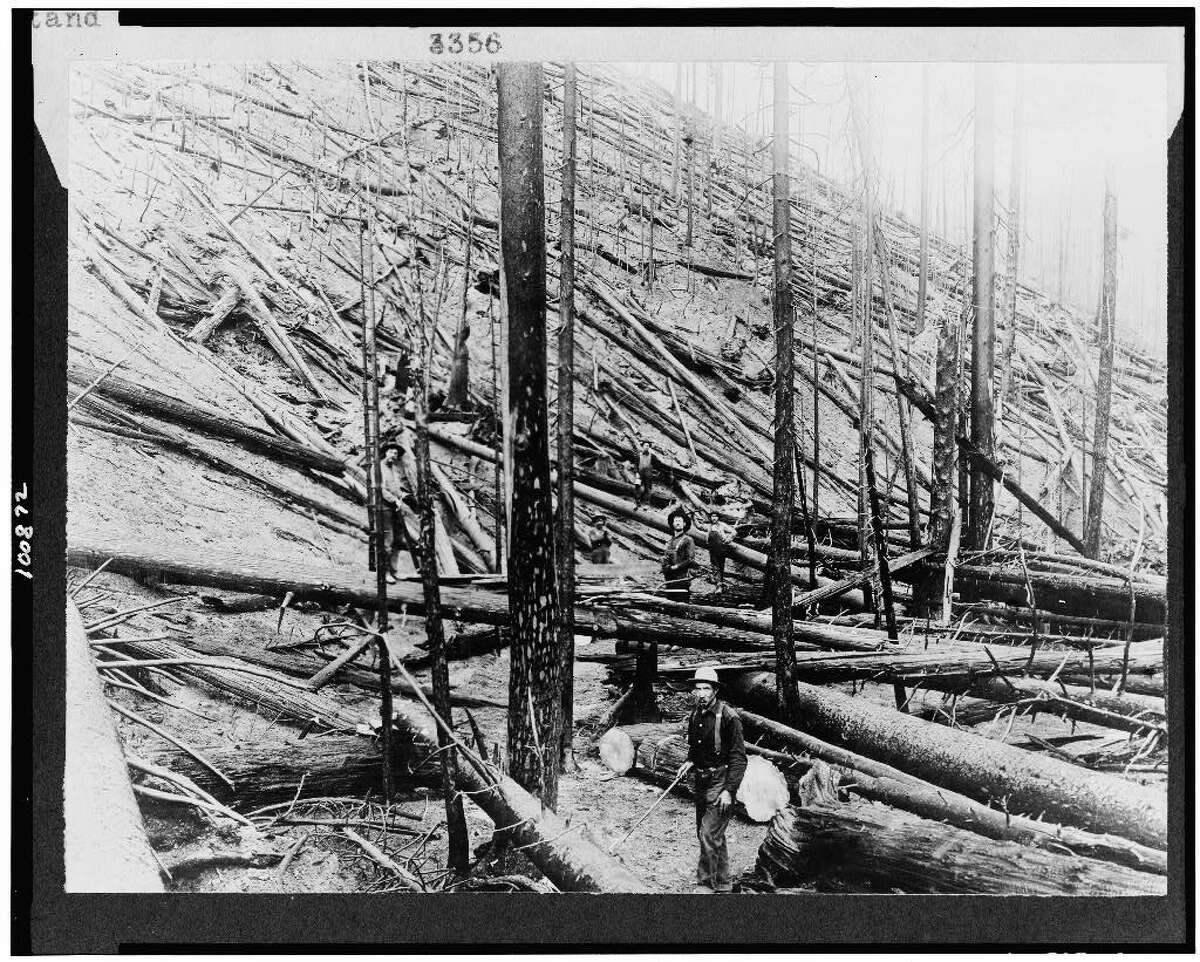 A stand of Idaho white pine leveled by the Big Blowup wildfire of 1910. This photo was taken near Coeur d'Alene.