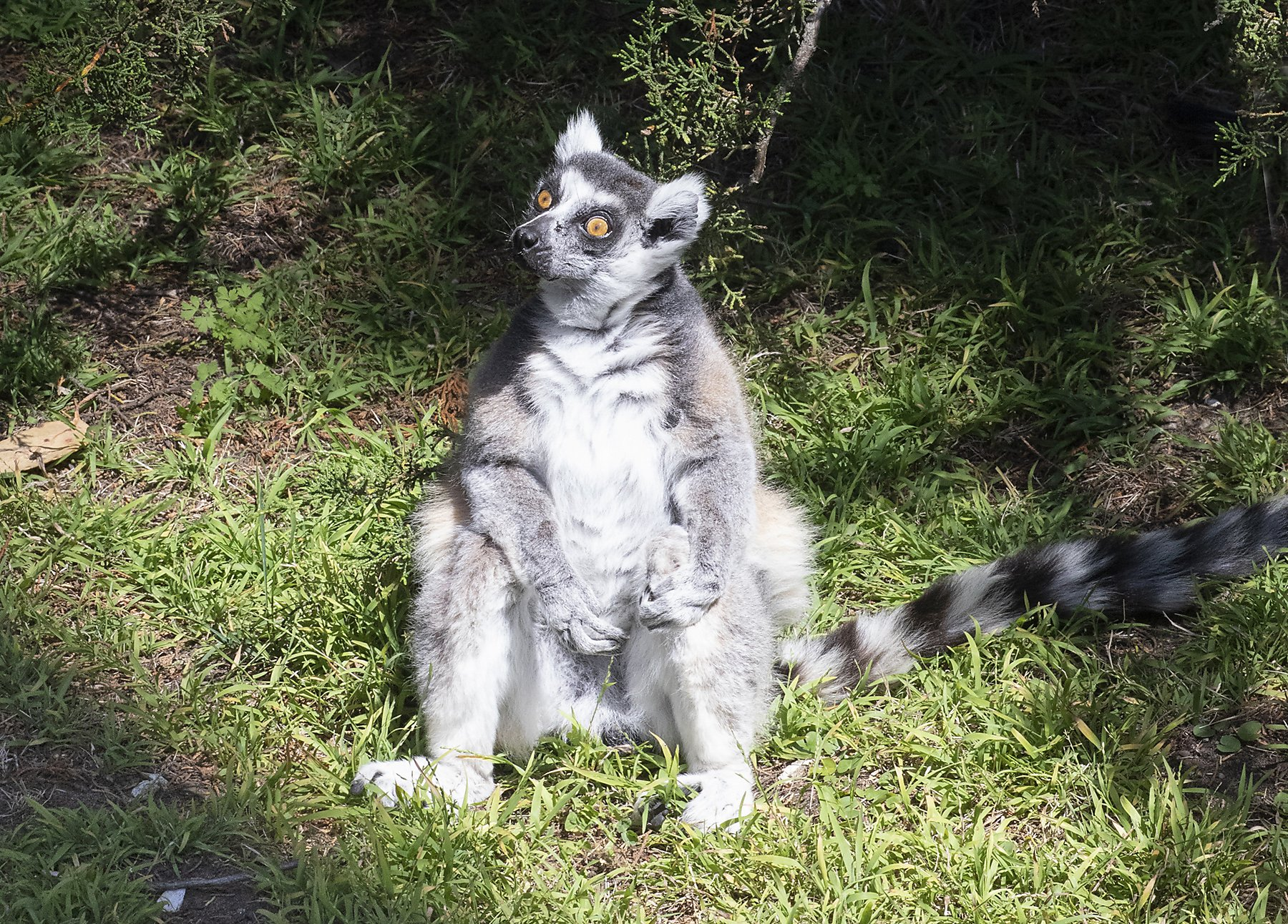 Lemur on the loose: Police investigate possible burglary of 'highly endangered' animal at S.F. Zoo