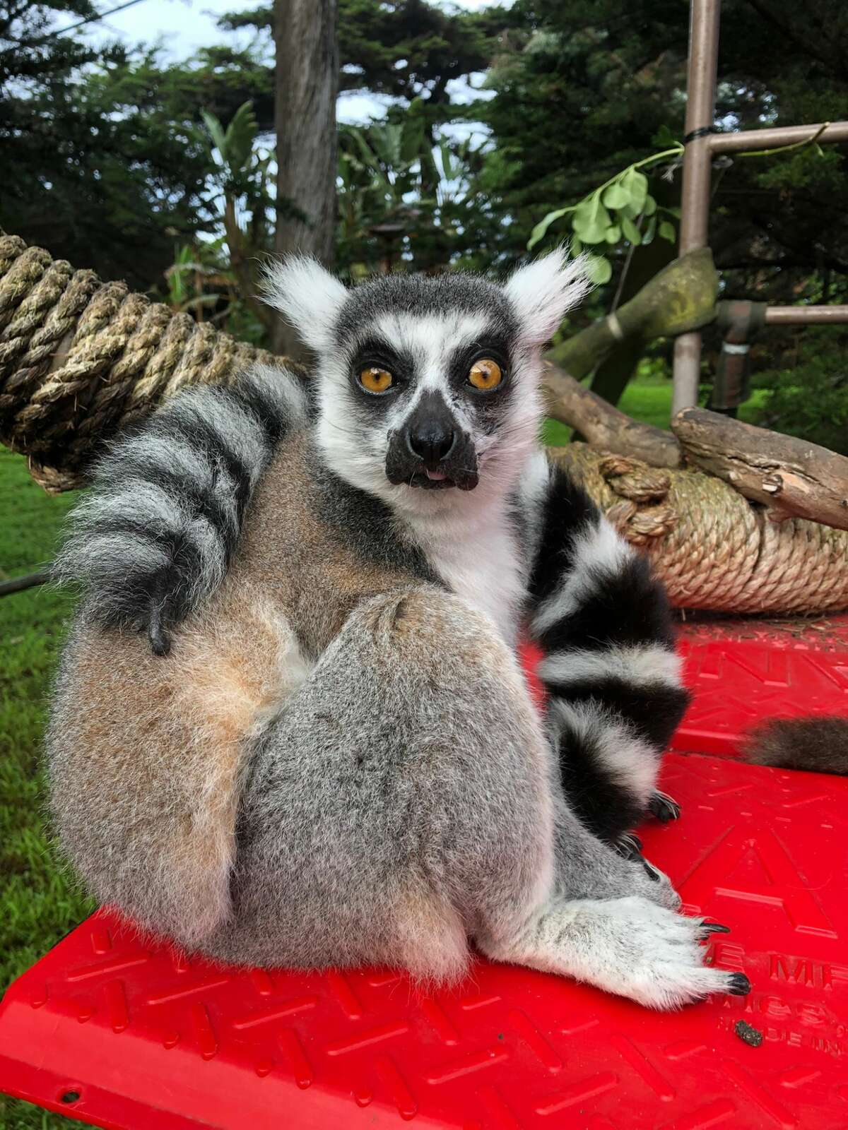 A photo of Maki, a lemur stolen from the San Francisco Zoo and Gardens last year.