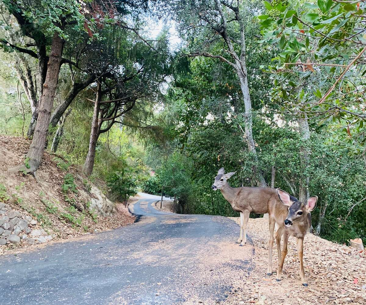 Two deer have wandered up to Kathy St. John's home in Boulder Creek.