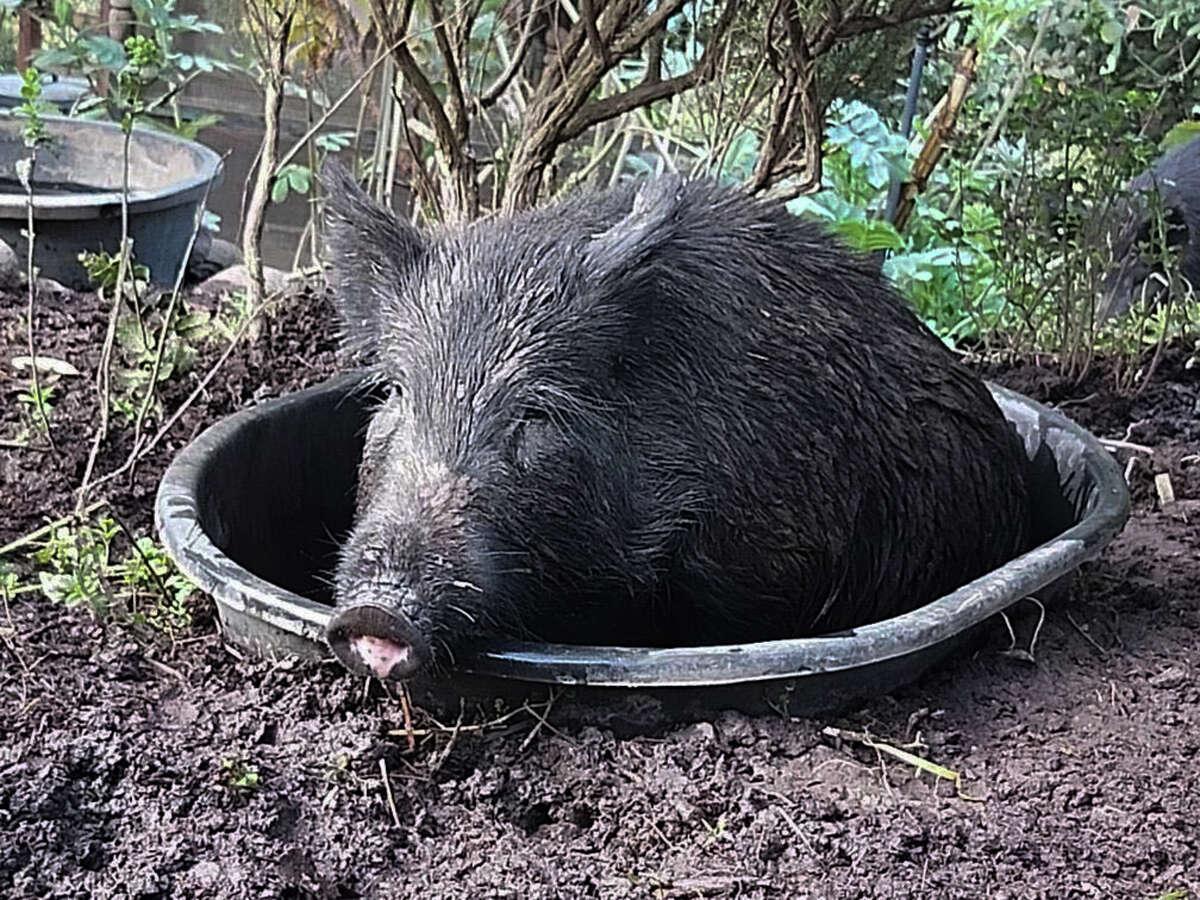 A wild boar gets comfortable in Kathy St. John's garden.