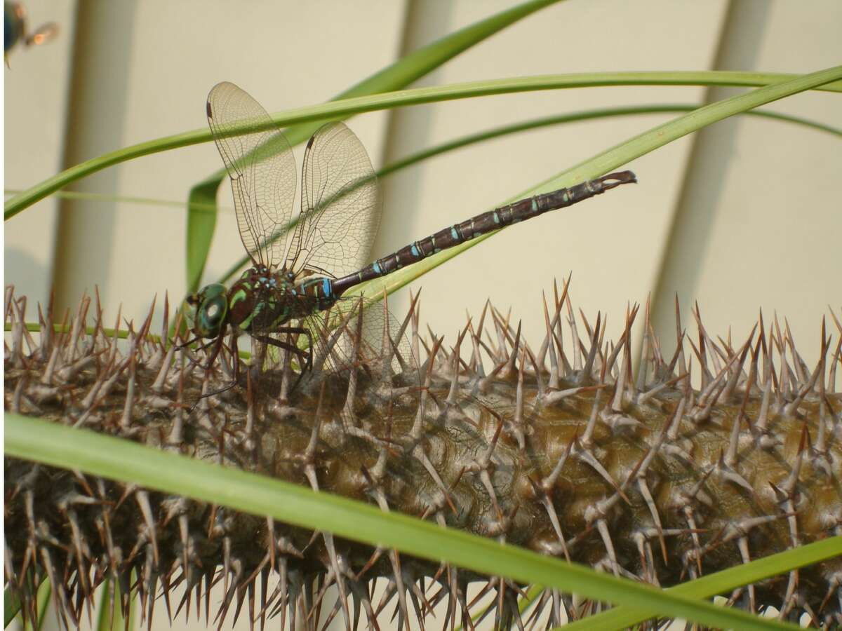 Pamela Gelgud's Albany garden had some visitors in the past month. The dragonfly landed on the cactus right outside her front door a few weeks ago.