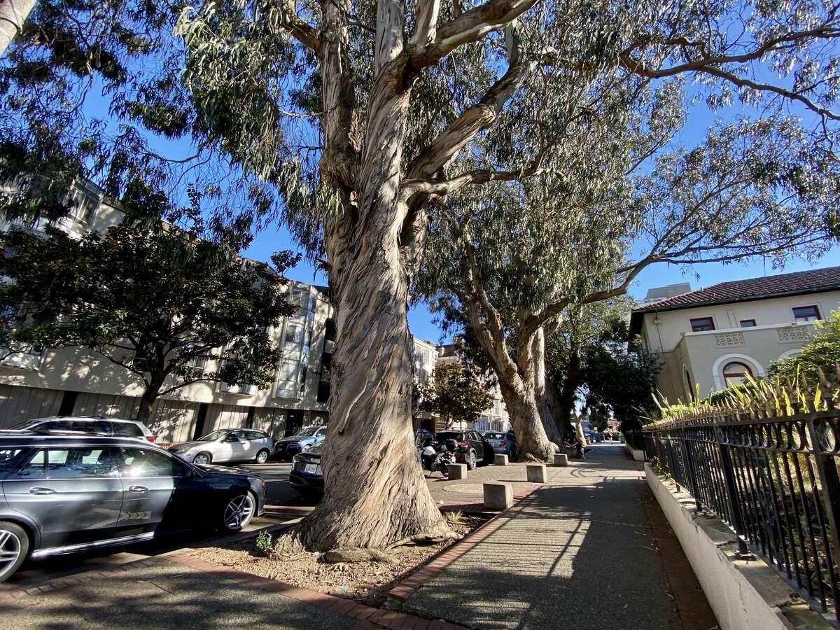 The eucalyptus trees on Octavia Street, San Francisco, Oct. 14, 2020.