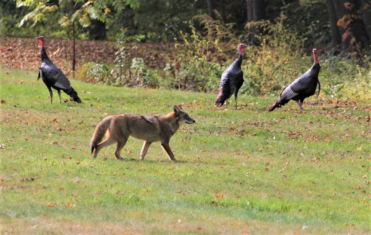 Jim Rossi of Durham saw an unexpected scene in his yard Monday morning - three wild turkeys and a coyote sharing the outdoor space, seemingly not noticing one another. He captured the remarkable moment.
