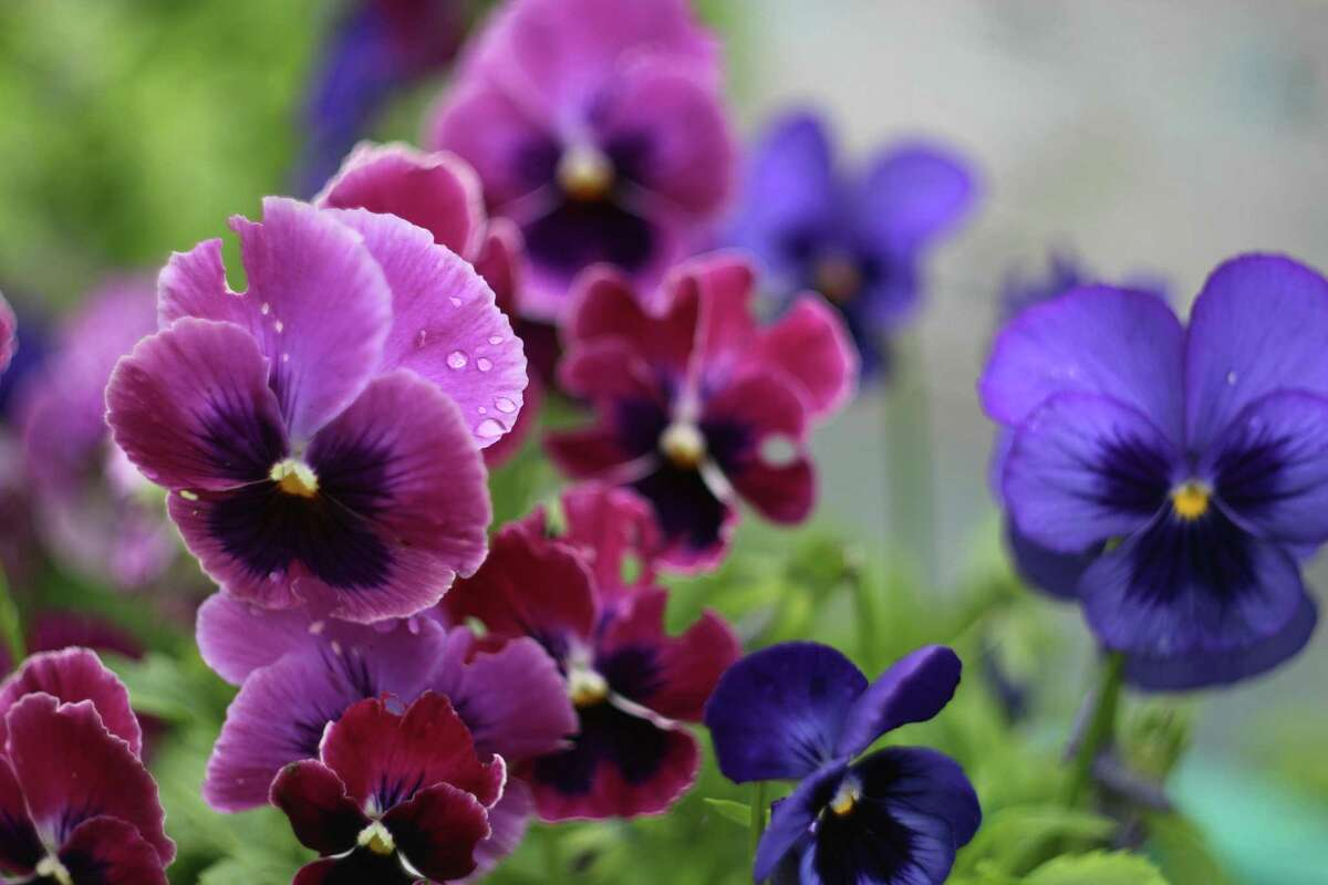 Purple and crimson pansy varieties