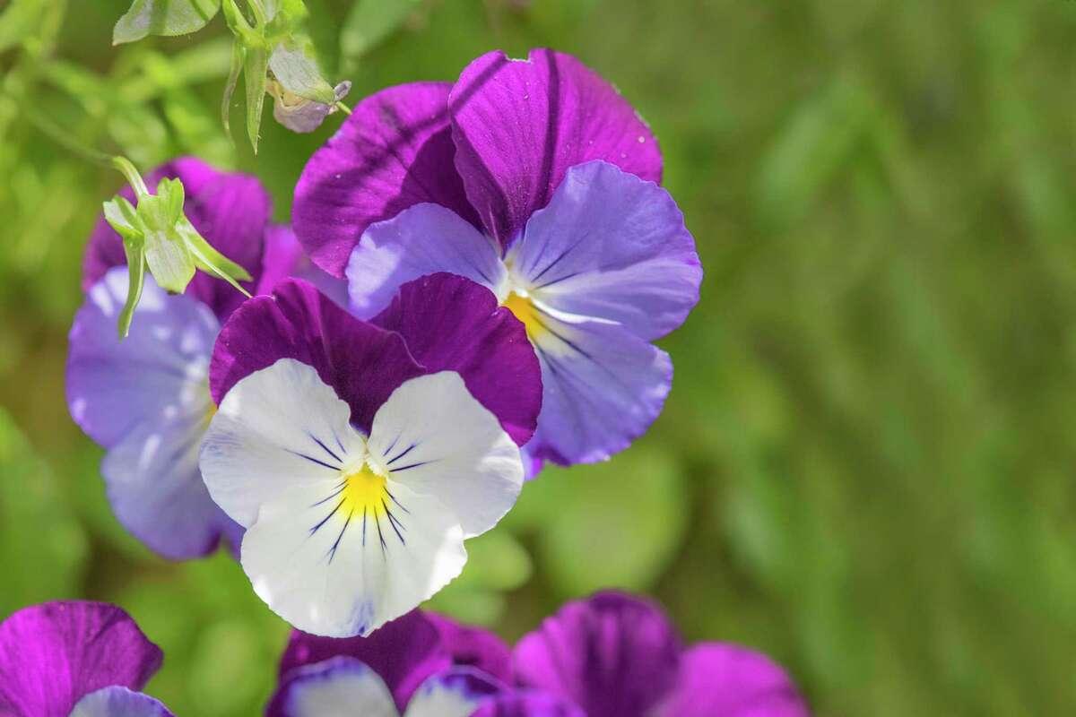 Purple, mauve and white johnny-jump-ups