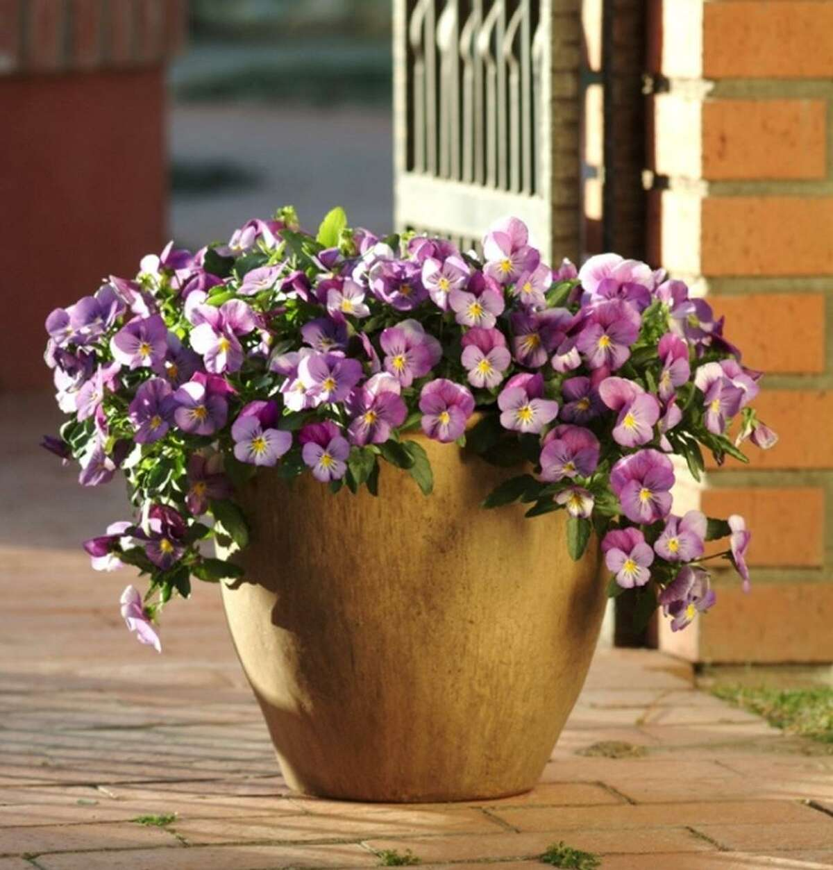 Lavendar Plentifall pansy looks great in containers.