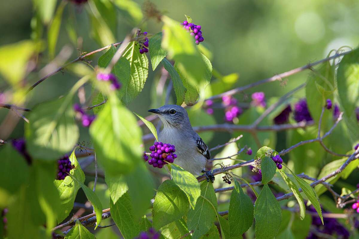 A northern mockingbird feeds on American beautyberries at Willow Waterhole in the Westbury area of Houston. Photo Credit: Kathy Adams Clark