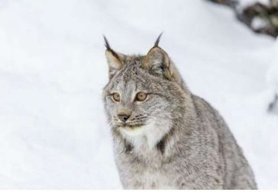 The Friends of Topsmead State Forest will offer a virtual presentation on bobcats at 6:30 p.m. Oct. 26. Photo: Friends Of Topsmead State Forest / Contributed Photo