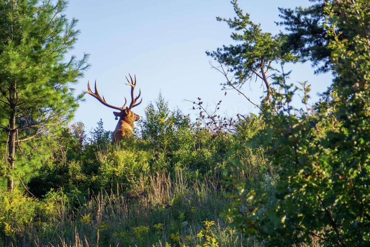 A bull elk walks into the sunset at the Virginia Elk Restoration Zone.