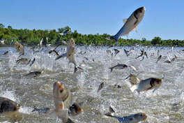 Asian carp leap out of the Illinois River in this photo provided by the University of Illinois Prairie Research Institute. On Saturday, the Illinois Department of Natural Resources will showcase Asian carp food items at nine locations throughout the state.