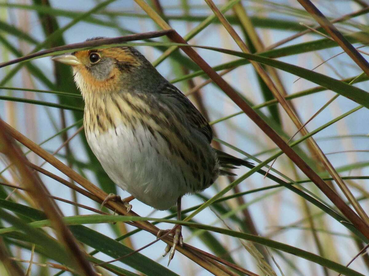 The salt marsh sparrow, a song bird found in coastal marshes from Maine to Virginia, is losing about 9 percent of its population each year. Sea level rise and a transforming environment are predicted to seal the bird's grim fate. The sparrow is projected to join the likes of the dodo bird and passenger pigeon within the next 51 years.