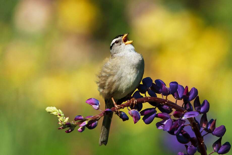 A white crowned sparrow sings while resting on a purple lupine. Photo: Kurt Stricker / Getty Images