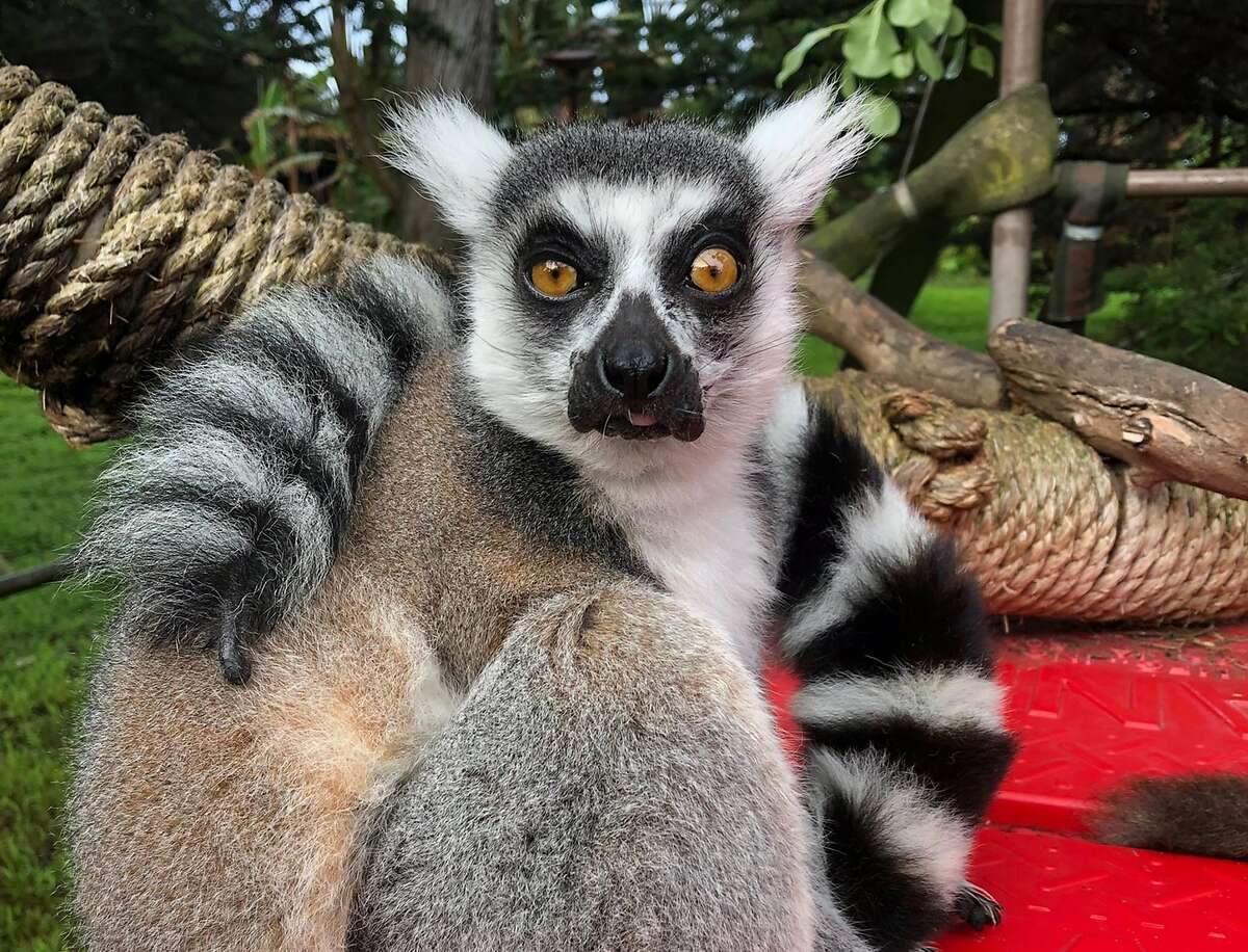 21-year-old male ring-tailed lemur, Maki, was discovered missing from the San Francisco Zoo's Lipman Family Lemur Forest, on Oct. 14, 2020. The lemur has since been found and returned. (San Francisco Zoo)