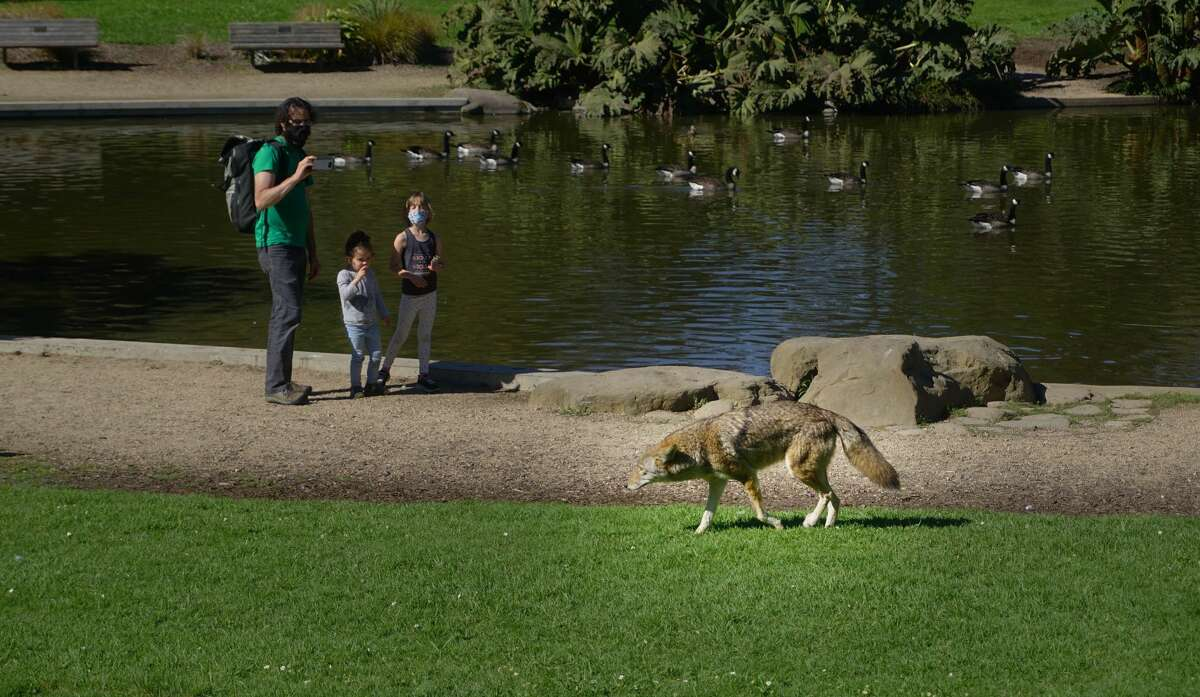 A coyote sighting in San Francisco's Golden Gate Park in broad daylight, October 2020.