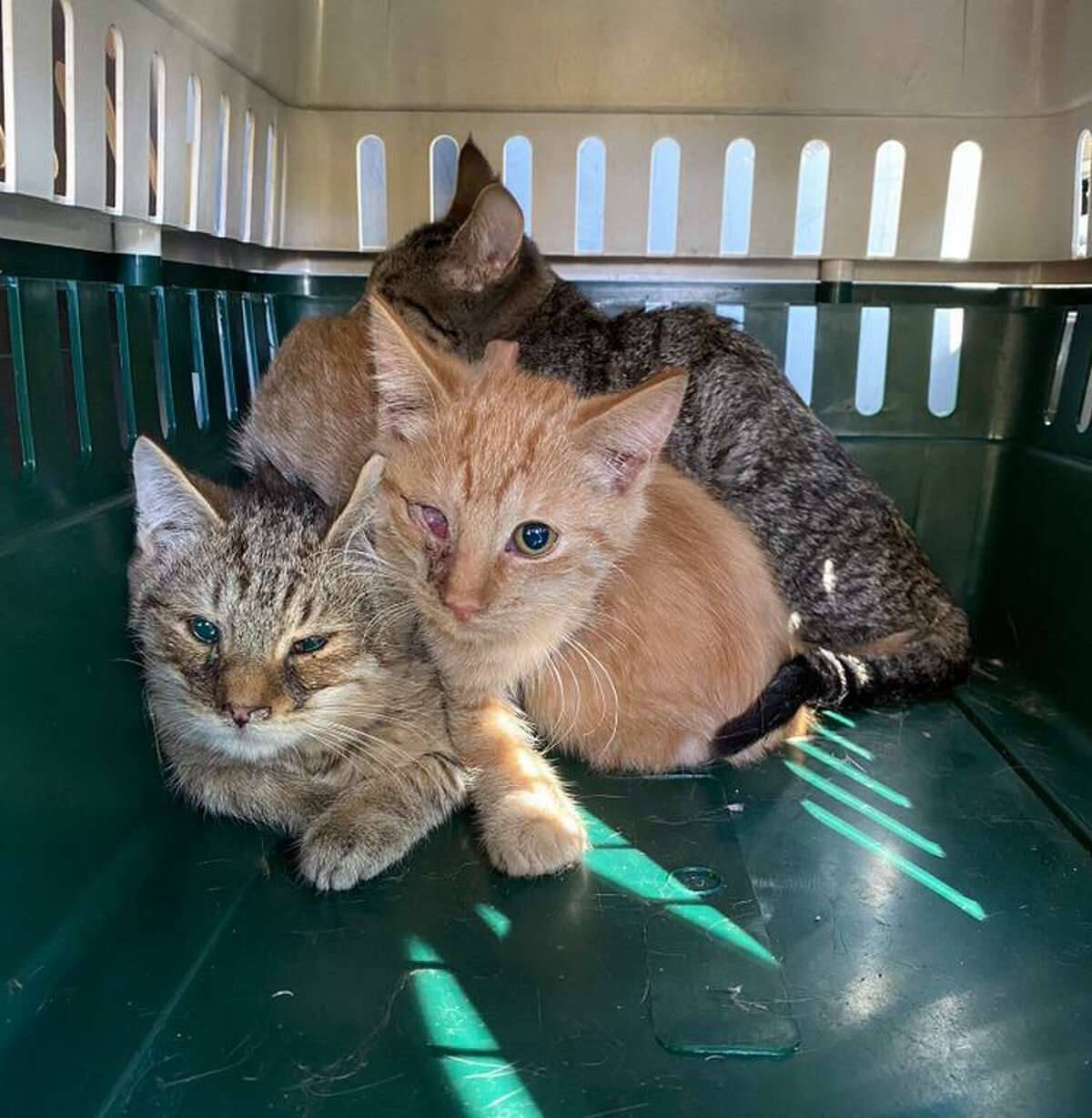 The Dan Cosgrove Animal Shelter is struggling to care for 22 new cats that came from a hoarding situation at a Branford house where they had been living for several months with no humans present. Many of the cats are still at the veterinarian but shelter staff and volunteers are caring for the ones that have returned from the vet.