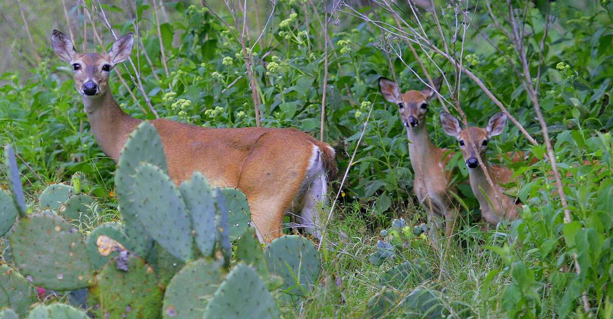A whitetail doe with her twin fawns. (Photo by Shannon Tompkins)