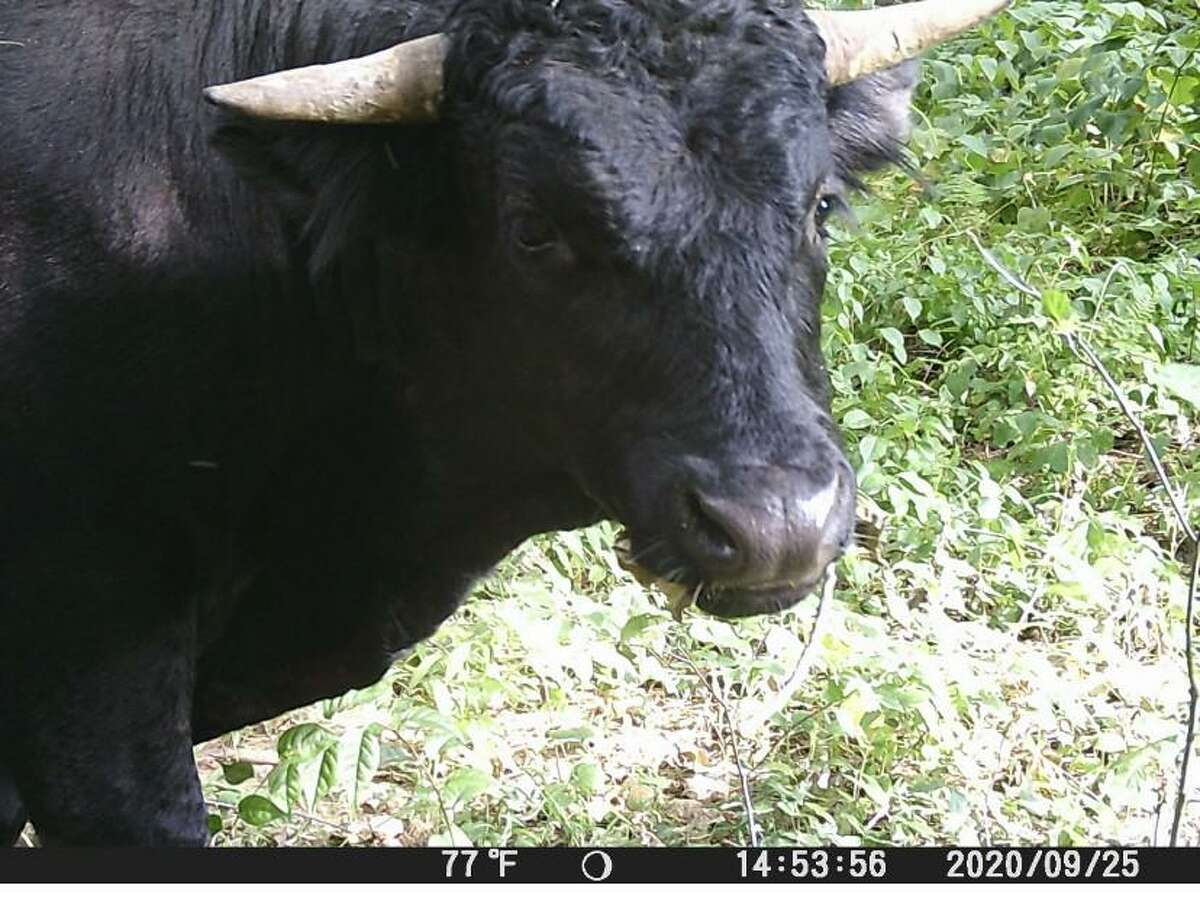Buddy the beefalo captured on surveillance footage at the end of September. Plymouth, Conn., police continue to try to capture him, so they can send him to retire at an animal sanctuary in Florida.