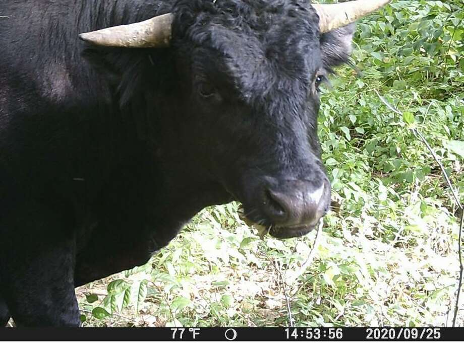 Buddy the beefalo captured on surveillance footage at the end of September. Plymouth, Conn., police continue to try to capture him, so they can send him to retire at an animal sanctuary in Florida. Photo: Contributed Photo / Plymouth Police Department
