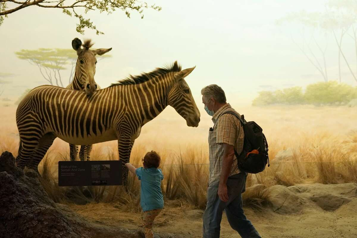 A man and child wear masks while looking at zebras in the African Hall exhibit. All guests will be given a verbal health screening before entering the museum. Everyone age three and up will be required to wear masks at all times.