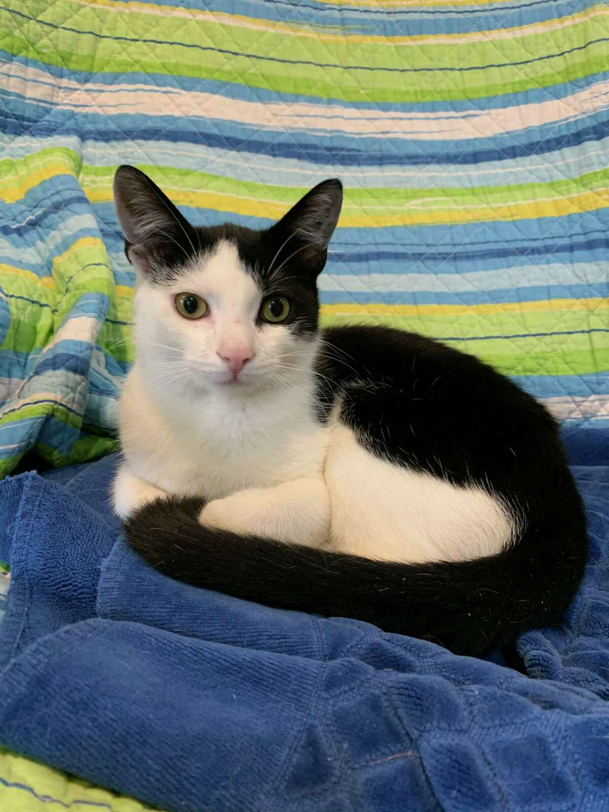 Tommy, a 6-month-old tuxedo kitten is looking for a loving home.