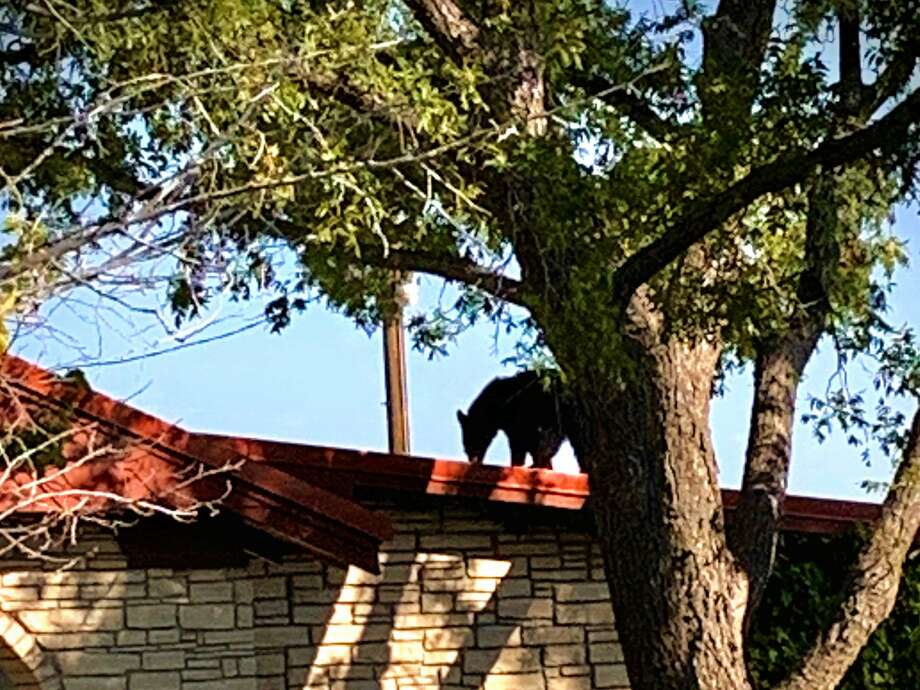 Texas Parks and Wildlife Department officials recently responded to a call about a black bear found on a roof of a house in West Texas, according to a Facebook post from the department. Photo: TPWD