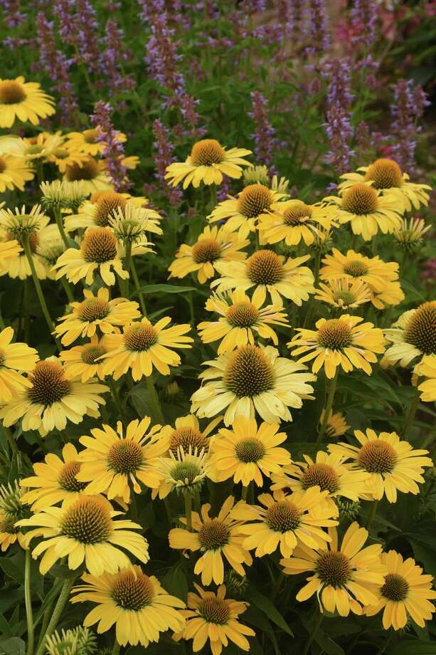 The Color Coded Yellow My Darling coneflower made its debut in 2020. (Photo Courtesy of Proven Winners/TNS) / Proven Winners