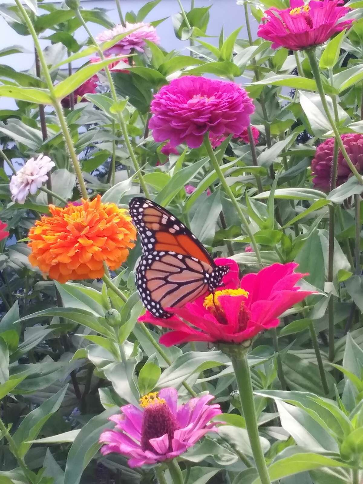 Some people believe the cardinal is a visit from above, Watervliet resident Linda Zablocky's family believes it's the butterflies and they love her zinnias in this photo from September.