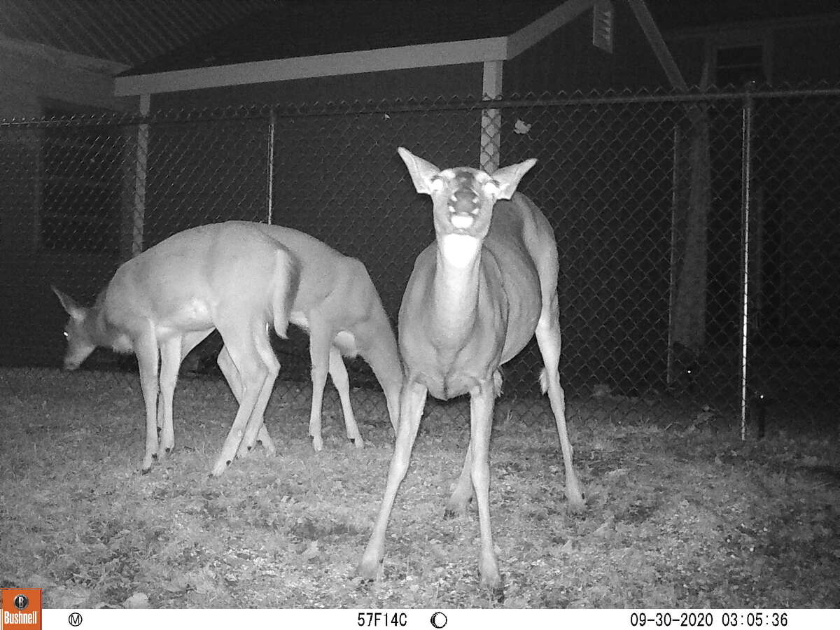 Three does are captured in a night image by Nancy and Walt DeBell of Troy.