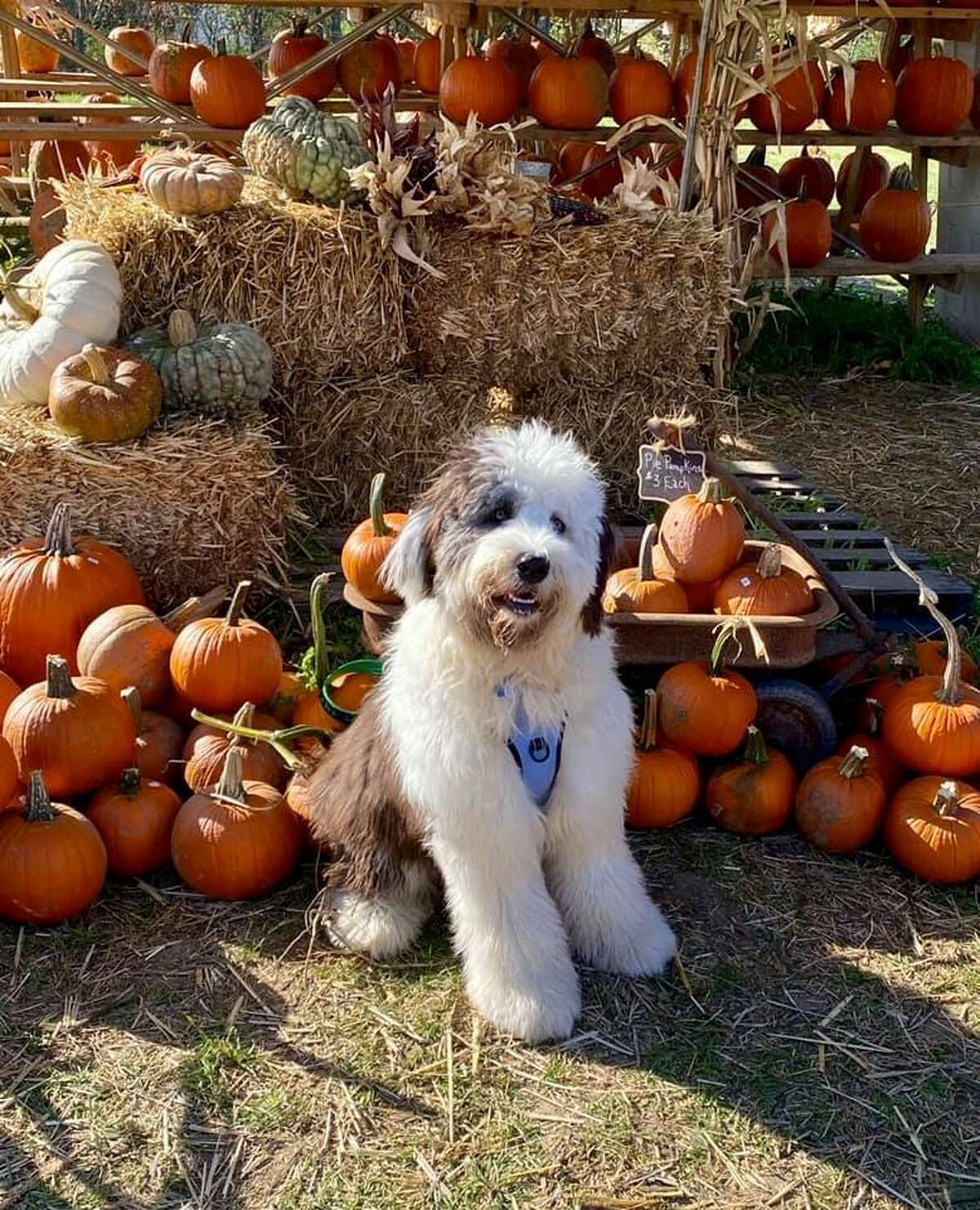 This is Scout from Ballston Spa out with family picking out pumpkins by Eileen Seery.