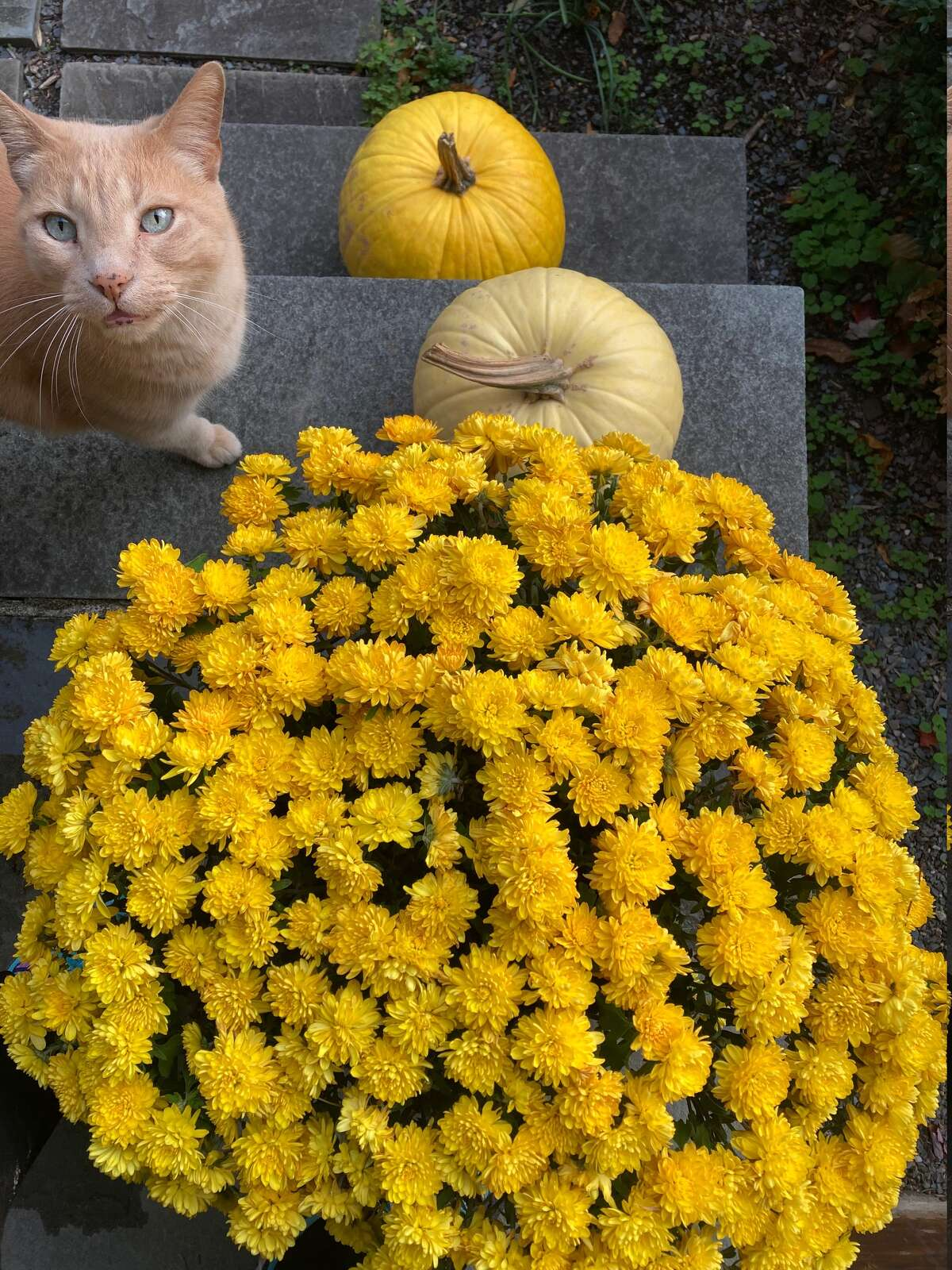 Tis the season for mums, pumpkins and cats, too.