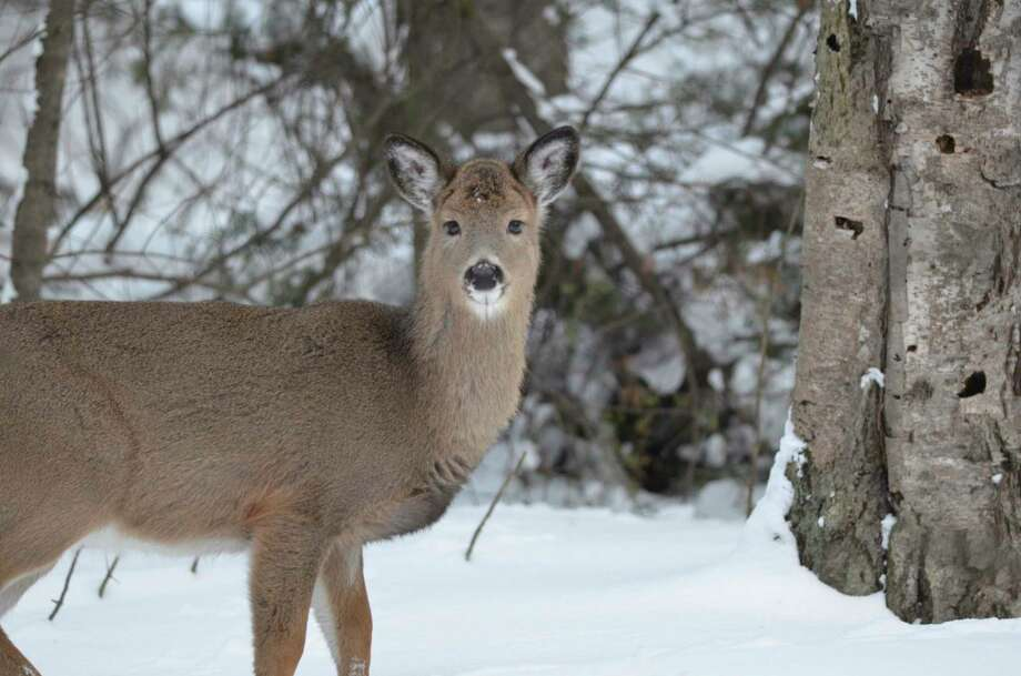 A white-tailed deer in a deer wintering complex in January. (Courtesy photo/Michigan Department of Natural Resources)