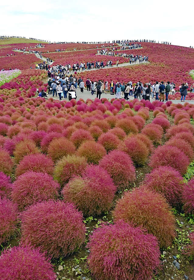 An hill is awash in color at Hitachi Seaside Park in Hitachinaka, Ibaraki Prefecture, Japan, as round kochia plants turn red with the coming of autumn.About 32,000 kochias are planted on the 1.9-hectare Miharashi no Oka (Hill of Good View) at the park. This year's kochias are smaller than usual, according to the park, due to the long rainy season that lasted until the end of July. Photo: Japan News-Yomiuri / Japan News-Yomiuri