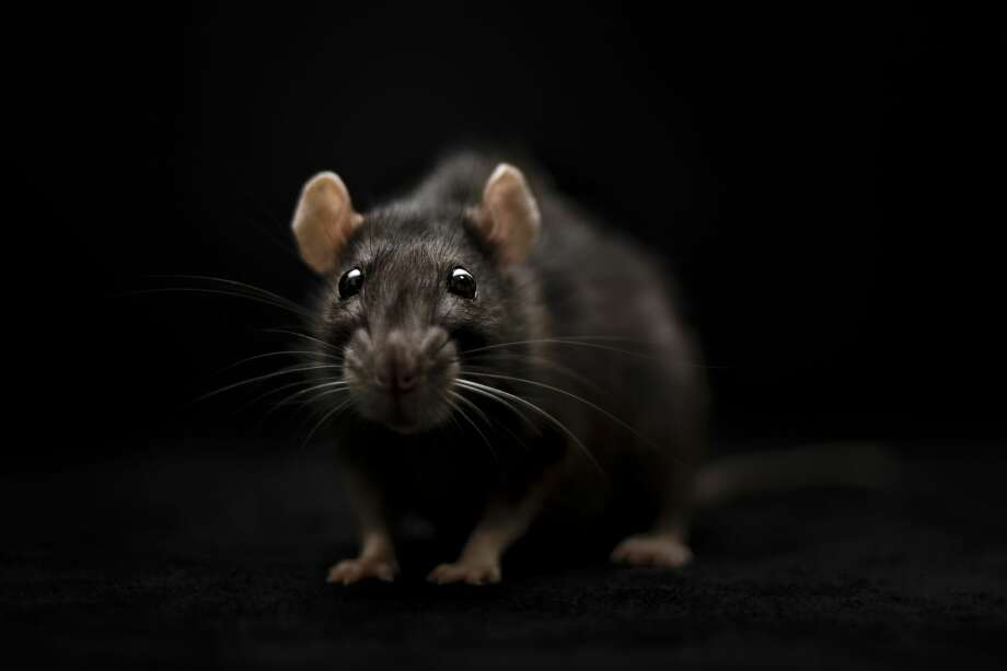 """Houston is back on Orkin's annual ranking of """"rattiest"""" cities as rodents move into businesses closed by the pandemic Photo: Jagoda Matejczuk / 500px/Getty Images/500px"""
