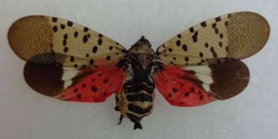 Spotted lanternfly Photo: Connecticut Agricultural Experiment Station / Contributed