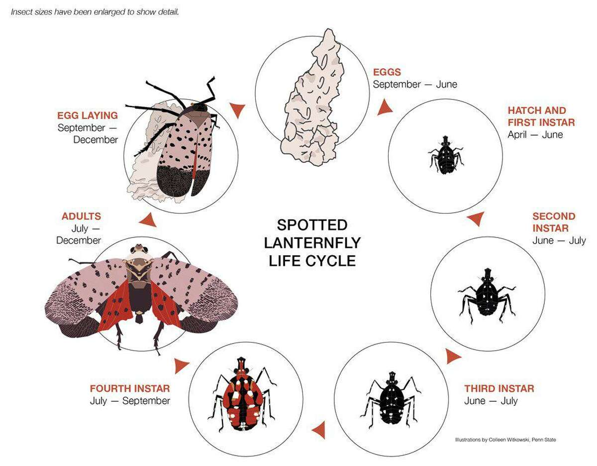 The life cycle of the spotted lanternfly.