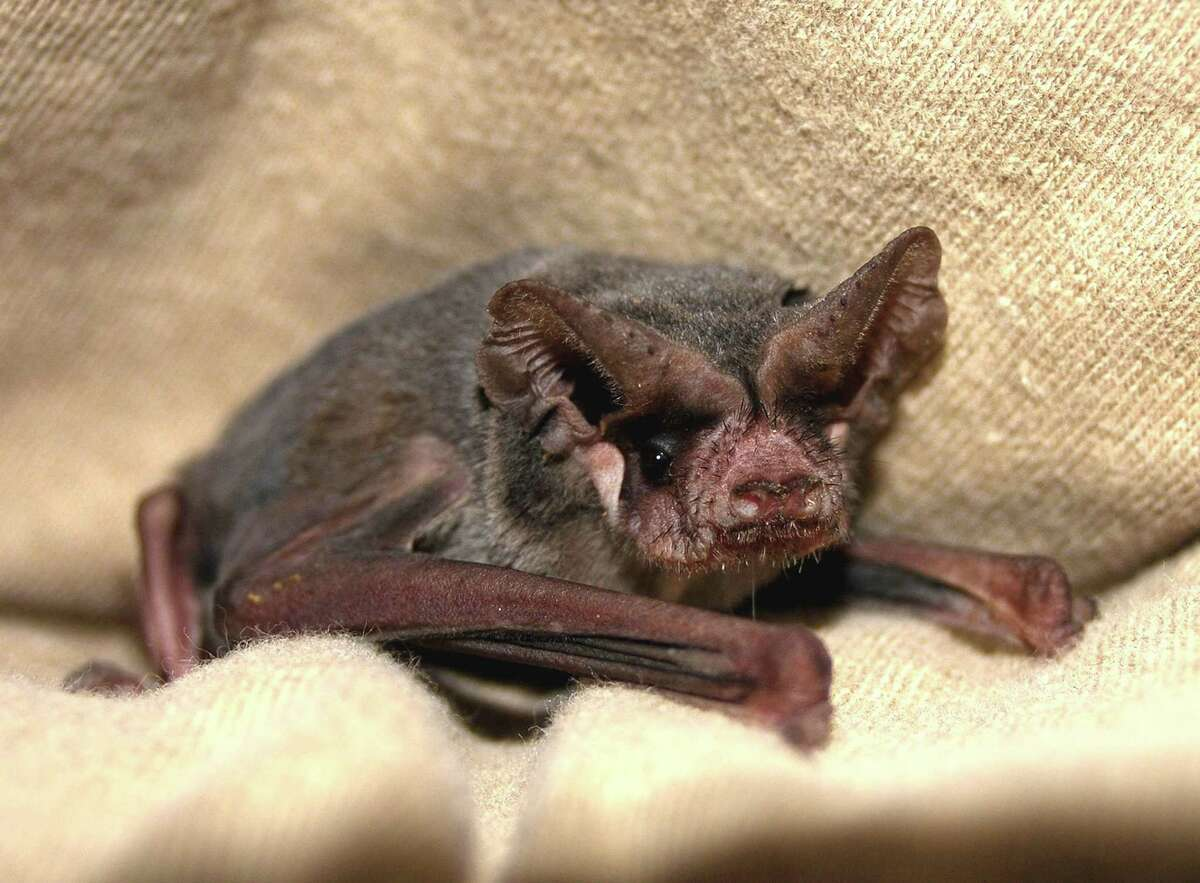 Closeup of a Mexican free-tailed bat, the most common bat in San Antonio and Texas. It's even the state flying mammal.