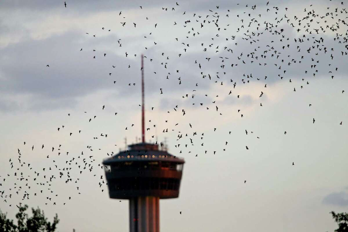 Mexican free-tailed bats leave their roost, from under the Interstate 35 overpass near the intersection of Camden Street and Newell Avenue. The site is home to 50,000 bats and Bat Loco Bash, a free bat-themed event for the entire family.