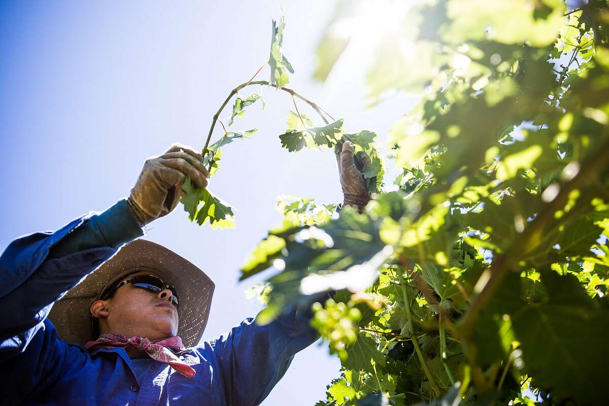 Hector Lopez works in the vineyard at Pedroncelli Winery in Geyserville in 2017.The owner of the vineyard has written Gov. Gavin Newsom asking him to reconsider and allow tasting rooms to open indoors.