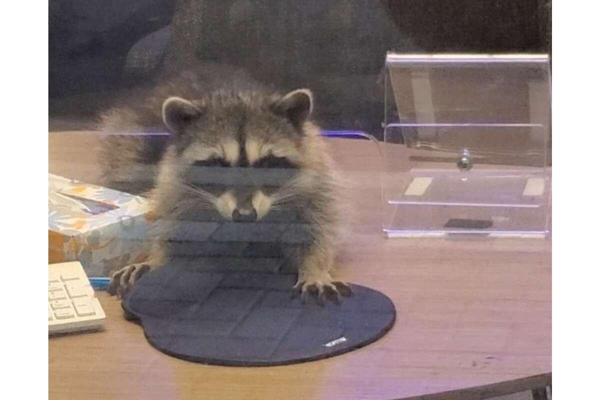 Raccoon seen inside a Redwood City bank, Oct. 20, 2020.
